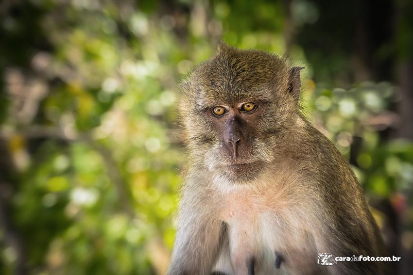 Macaco-thai-X3